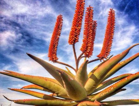 Aloes move me.